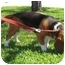Photo 2 - Basset Hound Mix Dog for adoption in Sugar Land, Texas - Bubba