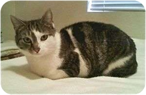 Domestic Shorthair Cat for adoption in Colorado Springs, Colorado - Lily Marlene