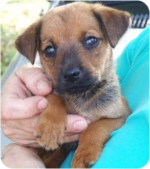 Shepherd (Unknown Type) Mix Puppy for adoption in Newburgh, Indiana - Betty Lou