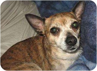 Chihuahua Mix Dog for adoption in Schertz, Texas - Nugget