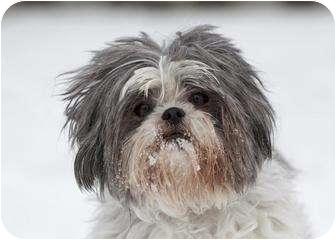 Shih Tzu Mix Dog for adoption in Ile-Perrot, Quebec - Dali
