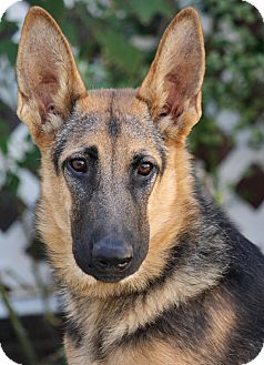 German Shepherd Dog Dog for adoption in Los Angeles, California - Tori von Trier