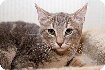 Domestic Shorthair Kitten for adoption in Irvine, California - Destiny
