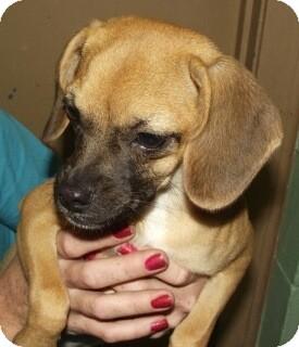 Pug Mix Puppy for adoption in Orlando, Florida - Charlene