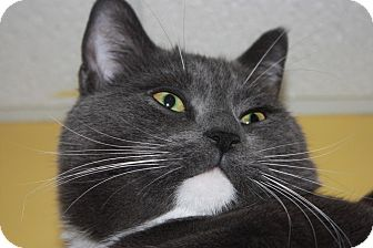 Domestic Shorthair Cat for adoption in Little Falls, New Jersey - Spyke (LE)