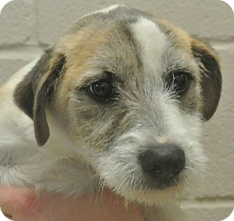 Terrier (Unknown Type, Small)/Corgi Mix Puppy for adoption in white settlment, Texas - Bruiser