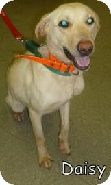 Labrador Retriever Mix Dog for adoption in Georgetown, South Carolina - Daisy