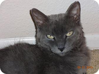 Devon Rex Cat for adoption in Escondido, California - Violet