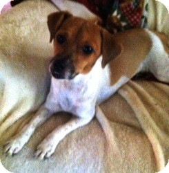 Jack Russell Terrier Mix Dog for adoption in Coppell, Texas - Lady
