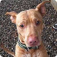 Adopt A Pet :: Chase - Dennis, MA