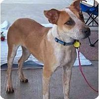 Adopt A Pet :: Dobby (adoption pending) - Phoenix, AZ