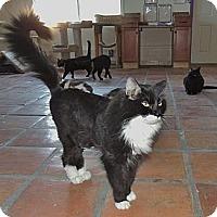 Adopt A Pet :: Zorro - Scottsdale, AZ