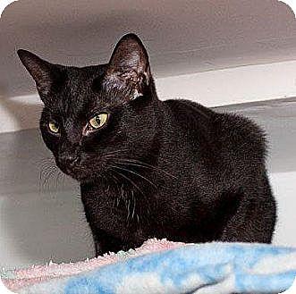 Domestic Shorthair Cat for adoption in Havana, Florida - Wyoming