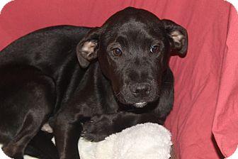 Labrador Retriever Mix Puppy for adoption in Waldorf, Maryland - Sarge