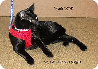 Domestic Shorthair Cat for adoption in Orlando, Florida - Beauty