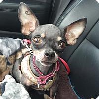 Adopt A Pet :: Zooey - AUSTIN, TX