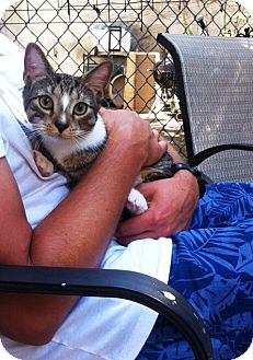 Domestic Shorthair Cat for adoption in Brooklyn, New York - Bolek