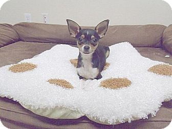 Chihuahua Dog for adoption in Gridley, California - Whiskey
