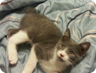 Domestic Shorthair Cat for adoption in Savannah, Georgia - Alfalfa