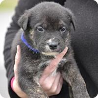 Adopt A Pet :: Coal - ROME, NY