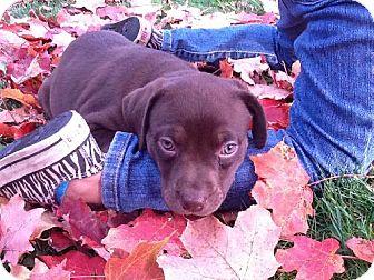 Labrador Retriever Mix Puppy for adoption in Buffalo, New York - Lolly