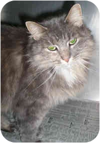 Domestic Longhair Cat for adoption in Honesdale, Pennsylvania - Queeny