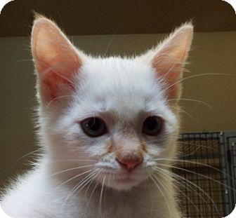 Siamese Kitten for adoption in Grants Pass, Oregon - Hank