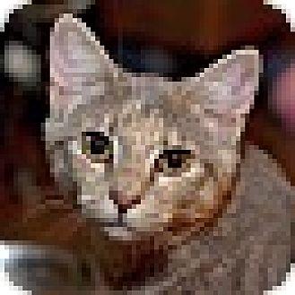 Domestic Shorthair Cat for adoption in Marietta, Georgia - Tyra