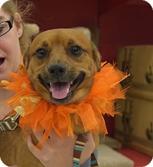 Chihuahua Mix Dog for adoption in Washington, Pennsylvania - Cruzan