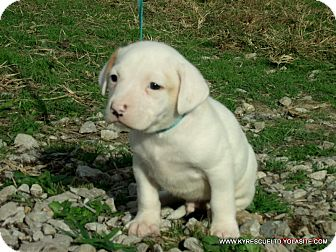 Bulldog/Beagle Mix Puppy for adoption in Waterbury, Connecticut - TITAN/ADOPTED
