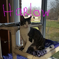 Adopt A Pet :: Harlow - Salem, OH