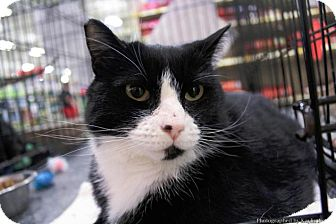 Domestic Mediumhair Cat for adoption in Sacramento, California - Jill