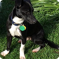 Adopt A Pet :: BOOTS-ADOPTED!! - Lynnwood, WA