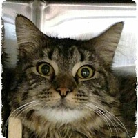 Adopt A Pet :: Cynthia - Pueblo West, CO