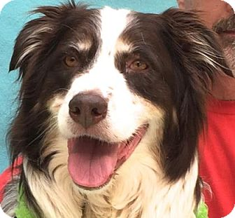 Australian Shepherd Mix Dog for adoption in Evansville, Indiana - Charlie
