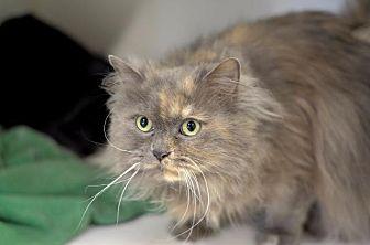 Domestic Longhair Cat for adoption in Park City, Utah - Galore