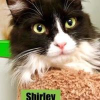 Domestic Mediumhair/Domestic Shorthair Mix Cat for adoption in Santa Paula, California - Shirley