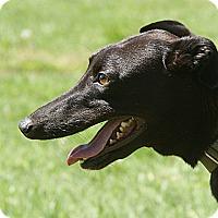 Adopt A Pet :: Wiggles - Portland, OR