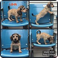 Adopt A Pet :: Lima - Garden City, MI