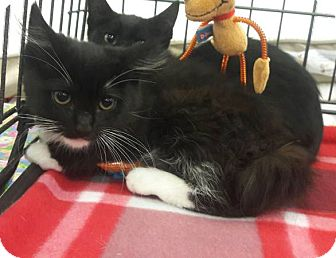 Domestic Mediumhair Kitten for adoption in Alamo, California - Luna