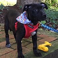 Adopt A Pet :: Josh - Willingboro, NJ
