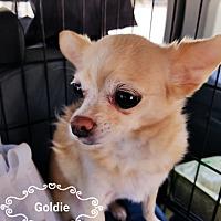 Adopt A Pet :: Goldie - Las Vegas, NV