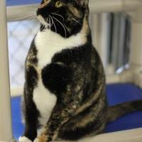 Adopt A Pet :: Patches - Greenville, NC