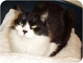 Domestic Longhair Cat for adoption in Walker, Michigan - Rex