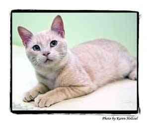 Domestic Shorthair Cat for adoption in Warren, Pennsylvania - Huey