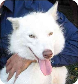 Husky Dog for adoption in Sherman Oaks, California - Mishka