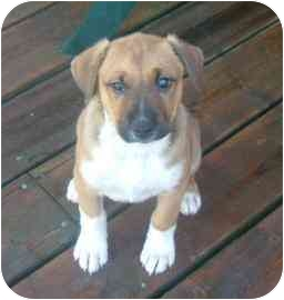 Siberian Husky/Retriever (Unknown Type) Mix Puppy for adoption in Barrie, Ontario - Lola