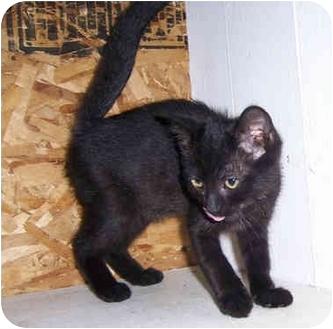 Domestic Shorthair Kitten for adoption in Brighton, Michigan - KF11