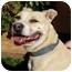 Photo 2 - American Pit Bull Terrier Mix Dog for adoption in Berkeley, California - Terri Ann