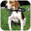 Photo 3 - Beagle Mix Dog for adoption in Honesdale, Pennsylvania - Molly Brown